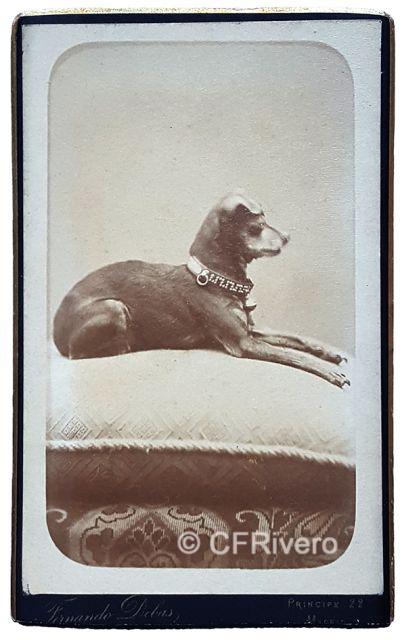 Fernando Debas. Retrato de un perro. Madrid, ca. 1875. Carte de visite en albúmina